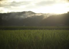 Nirvana (tetsuo5) Tags: 京都 京丹波町 kyoto kyotanbacho 水田 稲穂 ricefield 夕日 霧 fog 同じ様な写真 gx1 pangenieux1inchf095 ニルヴァーナって聴いた事無いです。 sunset shower 夕立 お天気雨 夕方