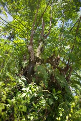 IMG_2019 (S&PF, USFS Pacific Southwest Region) Tags: mapping fia 2012 pacificisland americansamoa invasivespecies usfs tutuila fhp redbeadtree adenantherapavonina pacificsouthwestregion byleozliu foresthealthprotection
