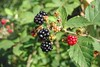 blackberry (Rubus fruticosis and relatives)