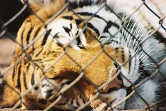 (two-headed bear) Tags: orange film nature animal 35mm canon focus sleep tiger dream caged tired pure