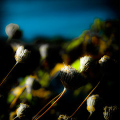 crw_4203 . weeds . bowerman (Steven Schnoor) Tags: color art nature dark saturated weeds colorful stems buds blooms darker bowerman schnoor simplelogic extremesaturation