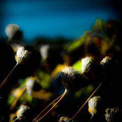 weeds . bowerman (Steven Schnoor) Tags: color art nature dark saturated weeds colorful stems buds blooms darker bowerman schnoor simplelogic extremesaturation