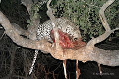 Young male Leopard with his kill that he just reclaimed from a single Spotted Hyeana. The Leopard hung it much higher in the tree this time. Lesson learned. (Ken Zaremba) Tags: africa animal southafrica leopard mammals bigcats krugernationalpark carnivores africanleopard malamalagamereserve felidae pantheraparduspardus greaterkrugernationalpark pantherepardus malamalagamecamp