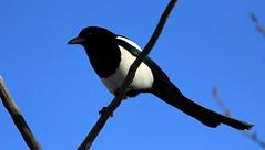 Black Billed Magpie (K Fletcher) Tags: canada black calgary bird alberta magpie billed
