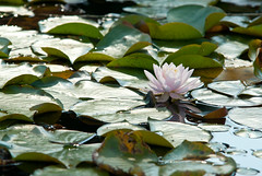 Lotus (xPaoLab) Tags: flower macro up petals nikon close d3000