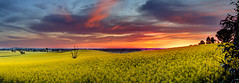 Canola Sunrise 3 (Andrew Fleming Photography) Tags: trees sunrise canon landscape iso100 australia andrew victoria hills dookie 7d hdr canola fleming andrewfleming goulburnvalley canoneos7d greatershepparton canoneos7d andrewfleming