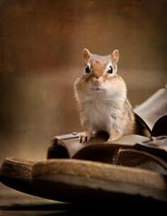 A Comfortable Fit (SavingMemories) Tags: cute mouse rodent squirrel critter chipmunk chippy backyardwildlife savingmemories suemoffett berkenstalk acomfortablefit