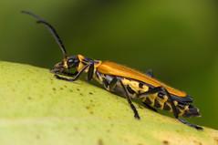 Bug (Rundstedt B. Rovillos) Tags: macro bug insect beetle australia brisbane insekt insekten insecte brisbanequeensland reverselens macrophotography insecta strathpine nikkor1855mm sooc straightoutofcamera reverselensadapter diyflashdiffuser nikond300 rundstedtbrovillos kentuckyfriedchickenplasticbucketlid diykfcflashdiffuser onehandmacroshootmethod kfcdiffuser kfcflashdiffuser auntceliasgarden