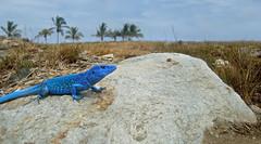 Blue-Lizard Morrocoy National Park photo Roger Manrique (Crocroger) Tags: blue parque azul puerto coast venezuela lizard caribbean nacional isla lagartija cabello larga morrocoy cnemidophorus lemniscatus