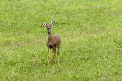 A little unusal (Tim_Williams) Tags: grass nikon deer whitetail