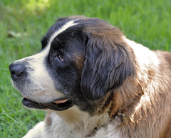 Mercedes (vmax4coco) Tags: dog male stbernard largedog