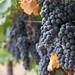 2012 Munselle Merlot Harvest 0019