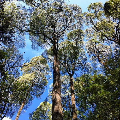 The trees in Tasmania are not only big, but incredibly tall! Hellyer Gorge State Reserve, western Tasmania