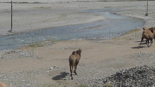 都好悠闲的骆驼,长腿跑起来好看