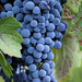 2012 Dilworth Cabernet Harvest 0003