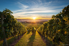 Vineyard Kappelberg - sunset (Ralph Oechsle) Tags: autumn sunset leaves vineyard sonnenuntergang stuttgart herbst grapes sonnenstrahlen sunray trauben weinberge