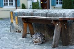 WALK IN BADEN big cat (skech82) Tags: street animal bench photography switzerland strada foto sleep swiss di svizzera baden gatto dormire animale panchina skech82