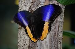 DSC_9923 (Wiljo van Essen) Tags: amsterdam butterfly zoo artis vlinder dierentuin butterflygarden vlindertuin nikond90nikond90