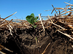 Soil Health: Soybeans Planted into Winter Whea...