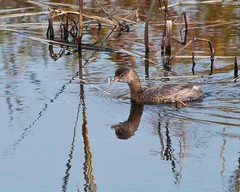 Squaw Creek Visitor (Jim McConnell) Tags: reflection nature duck nikon grebe d90