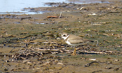 Semipalmated Plover (gmspanek) Tags: plover semipalmated