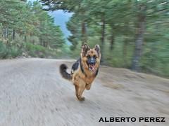 Vamos que arraso!!!!! (alberto vtr) Tags: madrid dog de can movimiento sierra perro pastor canela aleman nikonflickraward