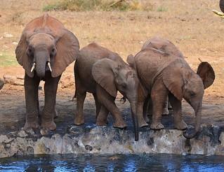 Young African Elephants at a waterhole, Taita Hills, Kenya.