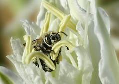 Flor apetitosa...:) (Zéza Lemos) Tags: flores insectos portugal canon vespa natureza natur flor abelha jardim algarve capture vilamoura insecto selvagem mygearandme mygearandmepremium