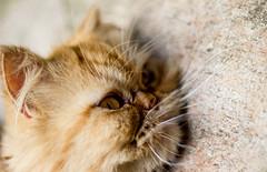 Cool stone (losacchi) Tags: brazil pet nature animal brasil cat fur persian floor saopaulo
