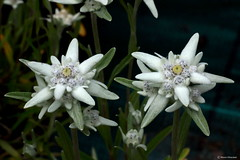 Edelweiss (Marco Ottaviani in the mountains with little acces) Tags: flowers plants alps nature canon natura fiori piante alpi asteraceae edelweiss stellaalpina leontopodium lalpinum marcoottaviani