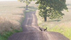 "-""So, who is this Hefner guy...?"" (jarnasen) Tags: road morning copyright sunlight rabbit bunnies nature sunrise dawn haze nikon hare mood dof sweden outdoor wildlife perspective depthoffield argument handheld fields playboy dirtroad sverige freehand situation landskap telezoom stergtland bynny 600mm d810 earlt nordiclandscape 150600mm tamronsp150600mm jarnasen jrnsen"