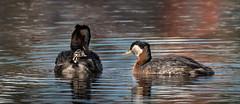 What's Up . . . explored (catchlightdon) Tags: alaska redneckedgrebe curiosity swimming reflection attentive breeding plumage donhenderson chick anchorage podicepsgrisegena