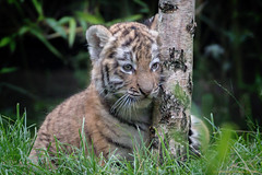 Birkentiger (gosammy1971) Tags: amurtiger sibirischertiger tiger cat katze carnivora amur fur fell new flickr august 2016 zoo duisburg dasha elroi mnchen hellabrunn odense munich birch birke gras predator raubtier groskatze ernie bert cub puppy kleintje baby nachwuchs kitten fantasticnature welpje welpen