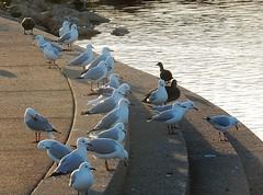 Seagull Steps