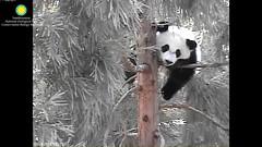 2016_08-28a (gkoo19681) Tags: beibei treetime treesitting danglinglegs dangling upsidedown sillygoober morningsilliness sayinghello ccncby nationalzoo