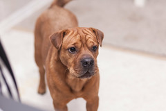 Dominic 71 (Rohini Vatish) Tags: dog pet puppy cute animal canon photo photography portrait nature indoors 5dmk2 5dmkii 85mm bright summer playing playful