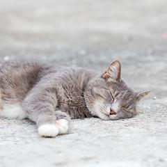 Gray tabby cat (Pamela Greer) Tags: cat catlyingdown catrollingover cats graycat