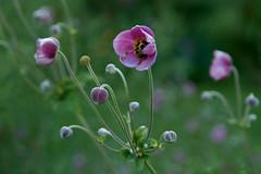 Sleepy Bee (SunnyDazzled) Tags: bee flower pink anemone garden evening summer sleepy nature bloom petals buds skylands botanical macro bokeh