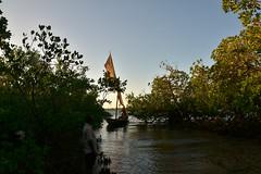 Dhow negotiating mangroves at Kilwa Kisiwani on return voyage (3) (Prof. Mortel) Tags: tanzania dhow mangroves
