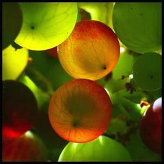 PK fit Vivitar Series 1 70-210mm - Macro - Grapes and sunshine in my garden (TempusVolat) Tags: gareth wonfor tempusvolat garethwonfor tempus volat mrmorodo grape grapes transparent garden veins alien seeds plant vine