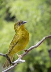 Olive-green Tanager (guiporcher) Tags: bird birdwatching ave brasil brazil nature natureza wildlife wild wildphoto