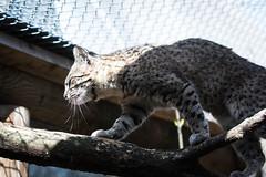 Geoffroy's cat on a branch (Cloudtail the Snow Leopard) Tags: salzkatze zoo karlsruhe tier animal mammal sugetier katze cat feline kleinfleckkatze geoffroy leopardus geoffroyi oncifelis