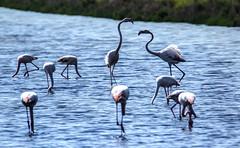 SALINA DI COMACCHIO. (FRANCO600D) Tags: fenicotteri uccelli birds flamingos salina comacchio salinadicomacchio acqua lago palude vallidicomacchio ferrarese natura emiliaromagna oasi canon eos600d tamron franco600d