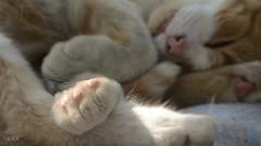 Arthur (babs van beieren) Tags: cat lazy fluffy sleepy hunter animal summer paw pet soft