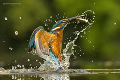 The prize (Ross Forsyth - tigerfastimagery) Tags: kingfisher fishing diving emerging spray water bird avian riverbird dumfriesgalloway scottishphotographyhides alanmcfadyen hide wildlife nature scotland animalplanet fantasticwildlife