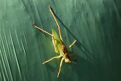 Grünes Heupferd (Tettigonia viridissima) auf einer Rundballenfolie , NGIDn520558252