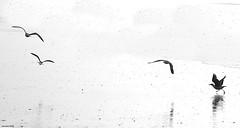 Les Danseuses... (crozgat29) Tags: jmfaure crozgat29 plage beach sea seascape nature mer mouette