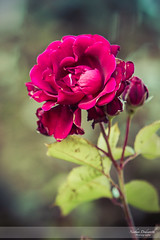 Simply Roses V (Nathan Dodsworth Photography) Tags: roses colours light petals flowers mood processing beauty calming serene romantic valentine romance love reds pinks