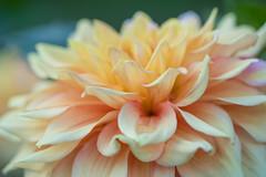 Dahlia (Infomastern) Tags: botanicgarden botaniskatrdgrden lund blomma dahlia flower kronblad macro makro petal exif:model=canoneos760d geocountry exif:aperture=32 camera:make=canon exif:isospeed=100 camera:model=canoneos760d exif:lens=ef100mmf28lmacroisusm exif:focallength=100mm geostate geocity geolocation exif:make=canon