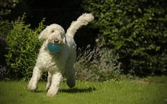 Mad Max (joolst14) Tags: goldendoodle dog pet garden fetch d7000